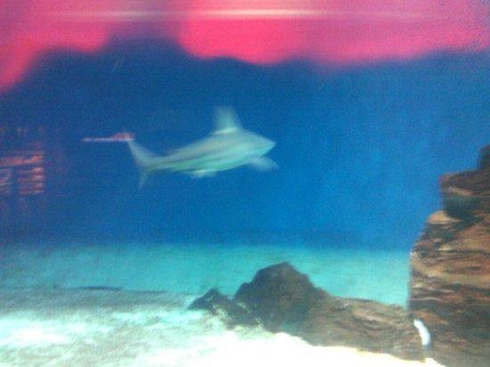 Acquario di Genova: squalo rosso sangue