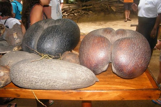Vallee de Mai Nature Reserve : coco de mer
