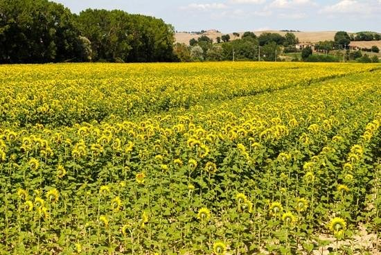 Italy Hotline Custom and Gourmet Tours: The sunflowers were being stubborn and would not turn for the camera.
