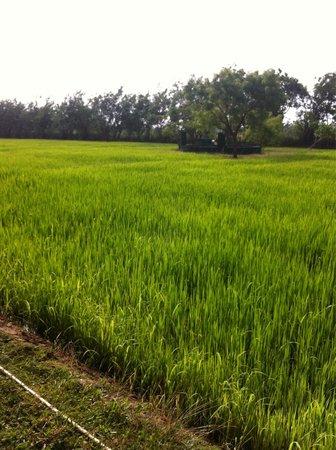 Thilanka Resort and Spa : Paddy field