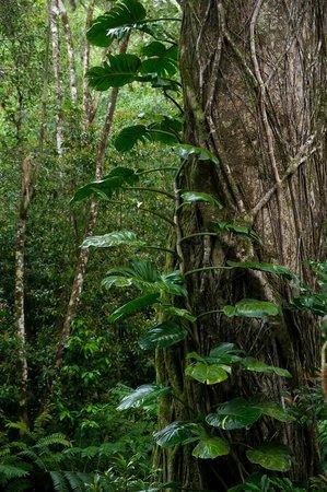 Manoa Falls: View