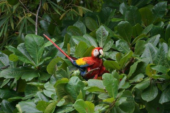 Casa Horizontes Corcovado: Scarlet Macaw!
