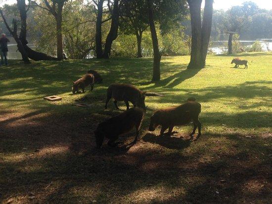 A'Zambezi River Lodge : Warthogs on the grounds