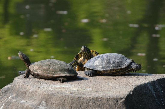 Tartarughe nello stagno for Stagno tartarughe
