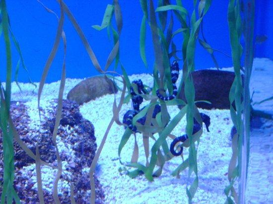 Ripley's Aquarium of the Smokies: seahorses