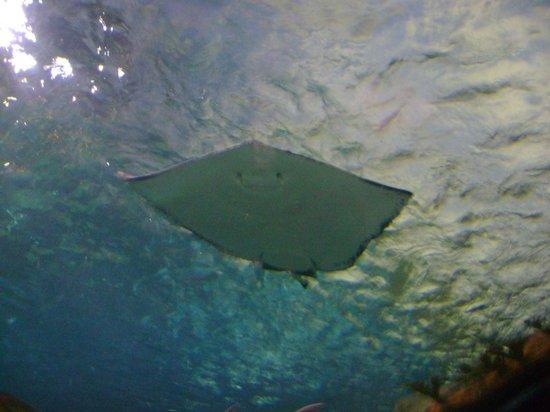 Ripley's Aquarium of the Smokies: stingray