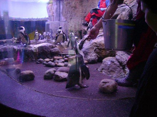 Ripley's Aquarium of the Smokies: feeding the penguins