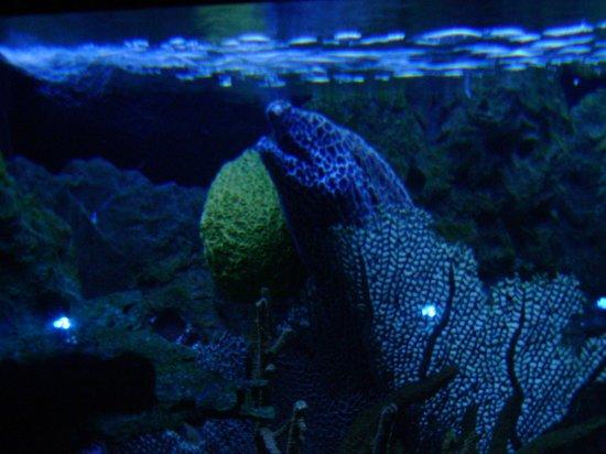 Ripley's Aquarium of the Smokies: moray eel