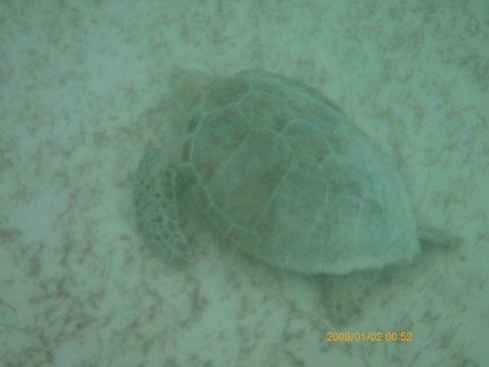Barcelo Maya Tropical: snorkeling, off beach, sea turtle