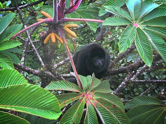 Selvatura Park: Howler monkey