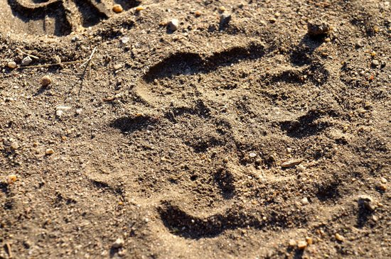 Lake Ndutu Luxury Tented Lodge: Lion paw print outside our lodge
