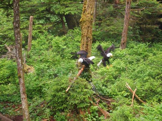 Alaska Raptor Center: Bald eagles in outsde enclosure