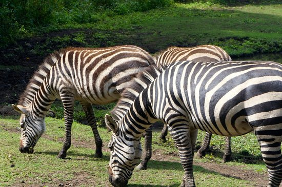 Mount Meru Game Lodge & Sanctuary: View of the zebras from the room