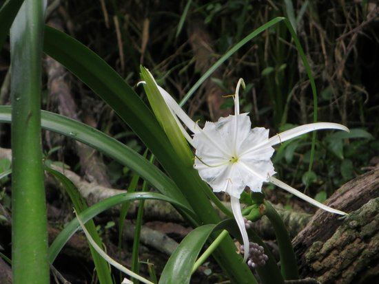Blue Springs Park: spider lily