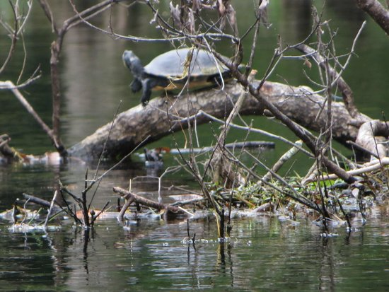 Blue Springs Park: cooter