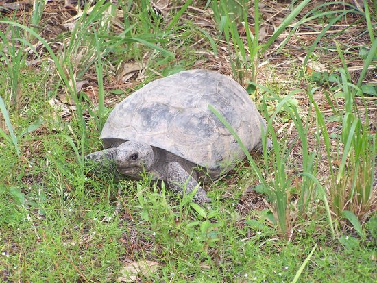 Big Shoals State Park: A very tolerant, very busy, gopher tortoise.
