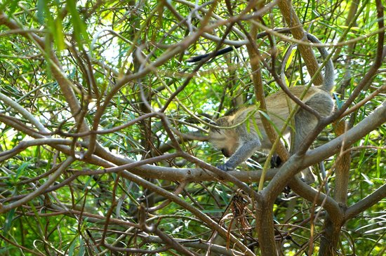 Lake Natron Tented Camp: Vervet monkeys by the pool