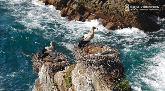 Rota Vicentina : Stork nests in the cliffs