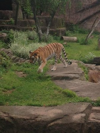 Lincoln Park Zoo : He looked a little thin, but beautiful nonetheless.