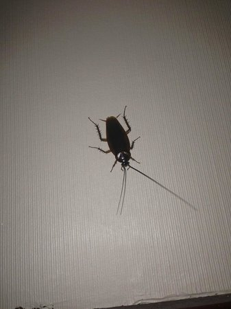 Best Western Plus Tucson Int'l Airport Hotel & Suites : cockroach