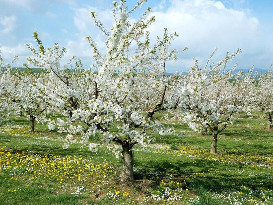Villa Orchard: Endless orchards within minutes walking distance