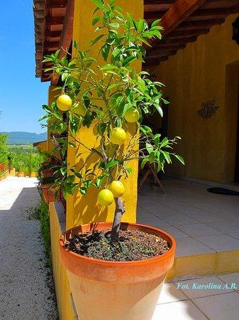 Le Mas Jorel: Lemon tree by the main entrance