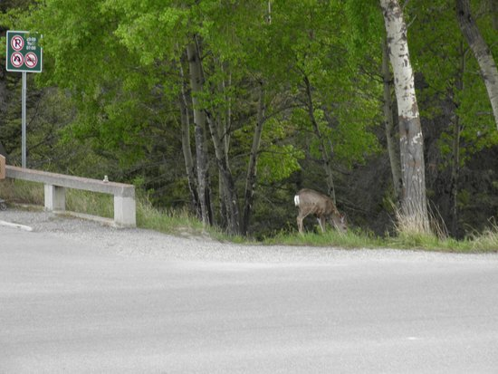 Tunnel Mountain Drive: Deer along the road