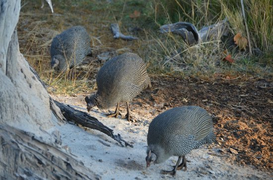 Camp Xakanaxa: Great to see guinea fowl in such great numbers.