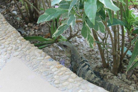 Azul Beach Resort Sensatori Mexico: Iguana