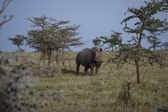 Black Rhino in Ol Pejeta with Porini Rhino Camp