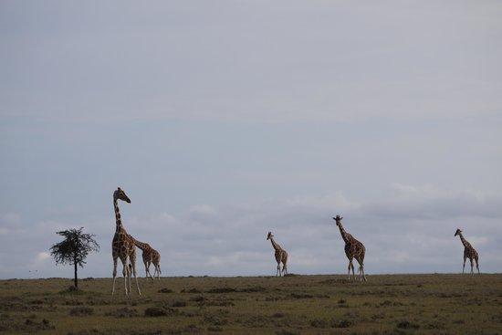 Porini Rhino Camp: Reticulated Giraffe