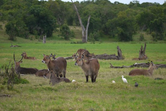 Porini Rhino Camp: Waterbuck
