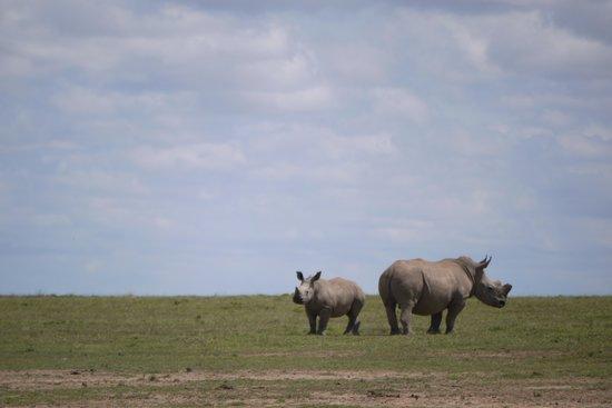Porini Rhino Camp : White Rhnos