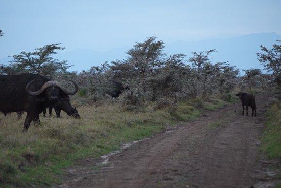Porini Rhino Camp : Buffalo