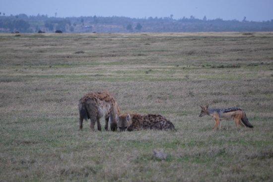 Porini Rhino Camp : Spotted Hyaena and Black-backed Jackal