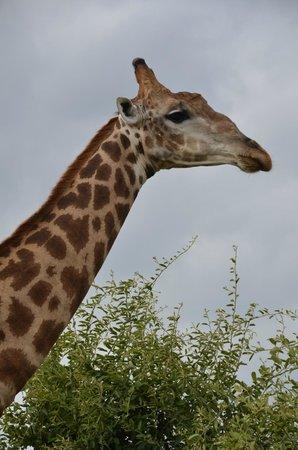 Chobe Game Lodge : Majestic Giraffe