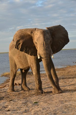 Chobe Game Lodge : Great opportunities to see so many elephant