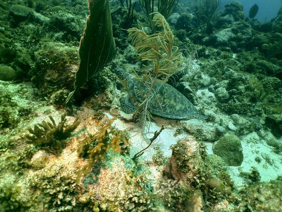 Bonaire East Coast Diving: Green turtle napping