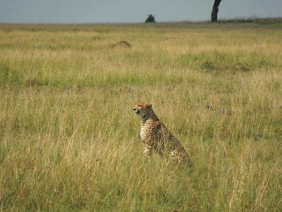 Mara Engai Wilderness Lodge: There be cheetahs!