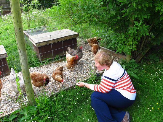 Fingle Bridge Bed and Breakfast: I had fun with their chickens!