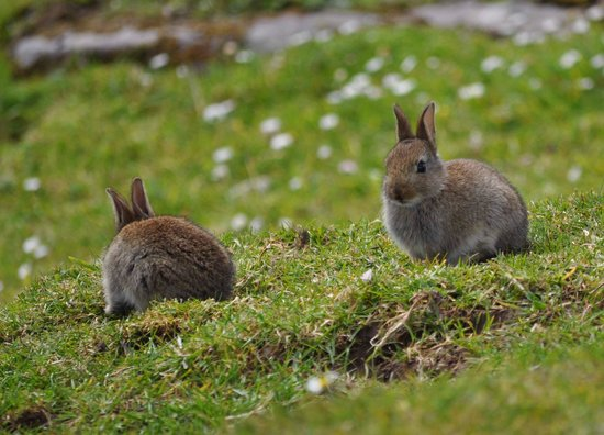 Irish Famine Cottages: In May … lots of rabbits on the way up