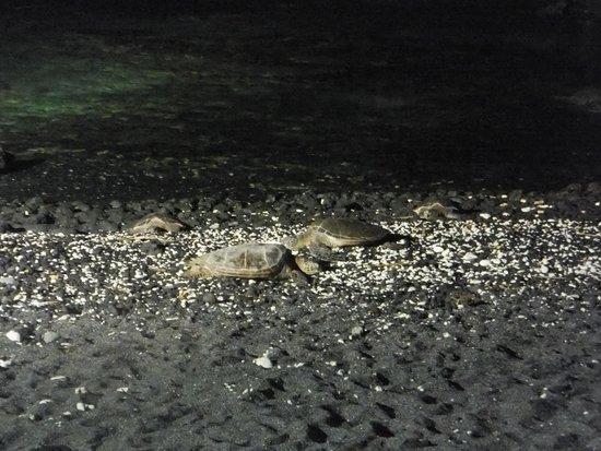 Fairmont Orchid, Hawaii: Sea turtles on hotel beach