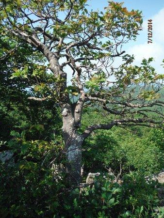 Appalachian Trail: Tree at a rocky overlook