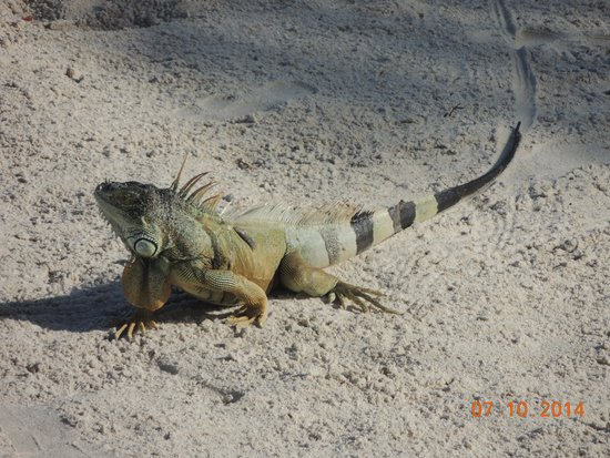 Key Largo Bay Marriott Beach Resort : Iguana on Beach