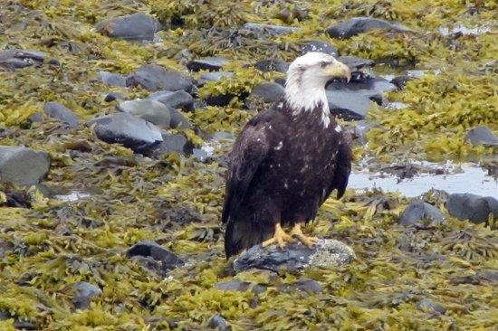 Alaska Paddle Inn: Bald Eagle on Beach in Front of Paddle Inn.