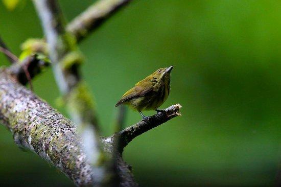 Tabin Wildlife Reserve: tabin bird