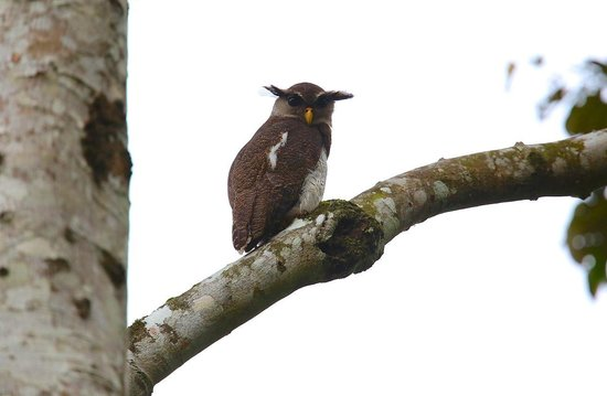 Tabin Wildlife Reserve: an owl