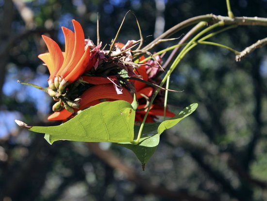 Emdoneni Lodge: the coral tree