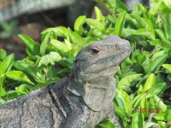 Hotel Riu Palace Costa Rica: Definitely not an endangered species.  Plenty of iguanas, all shapes, colors and sizes.
