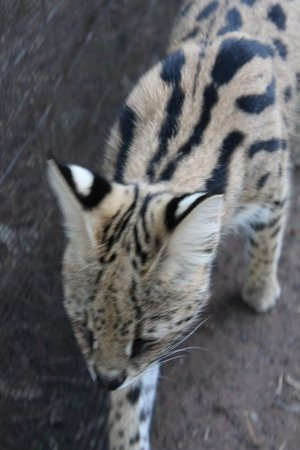 Emdoneni Lodge: sweetie serval